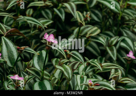 Close View Of Tradescantia Zebrina, Formerly Known As Zebrina Pendula In Botanical Garden. - Stock Photo