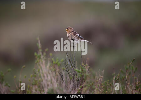 Twite (Carduelis flavirostris) - Stock Photo