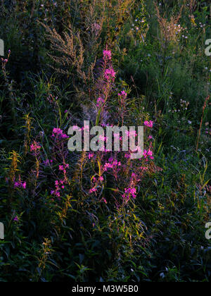 Willow herb Ivan tea fireweed Epilobium angustifolium in full blossom natural background - Stock Photo