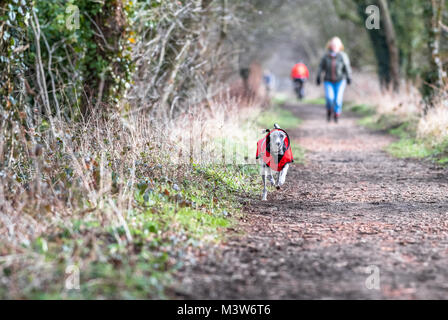 Woman walking with his Whippet puppy along a forest track in Sherwood forest, Nottinghamshire. - Stock Photo