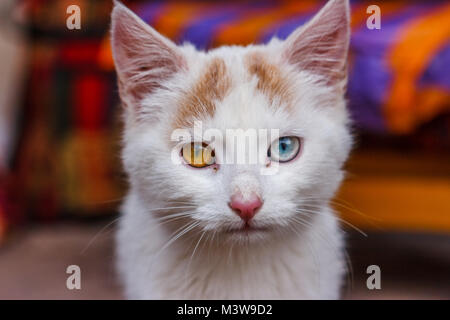 Portrait of a cat with eyes of different color, Cusco, Peru - Stock Photo
