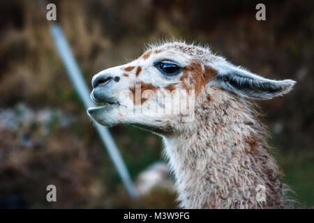 Portrait of a llama, Cusco, Peru - Stock Photo