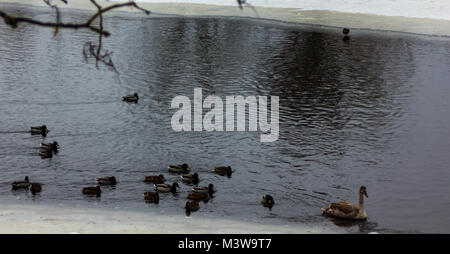 Grey Baby Swan swimming in a Partly Frozen River in Cloudy Winter Day with the Crowd of Ducks Following it - Stock Photo
