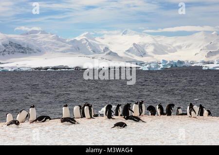 Long-tailed Gentoo penguin; Pygoscelis papua; Rongé Island; Arctowski Peninsula; Antarctica - Stock Photo