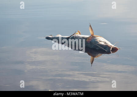 A dead fish floating on the surface of the water - Stock Photo