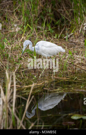 Little Blue Heron (Egretta caerulea) juvenile hunting for food in Everglades National Park, Florida - Stock Photo