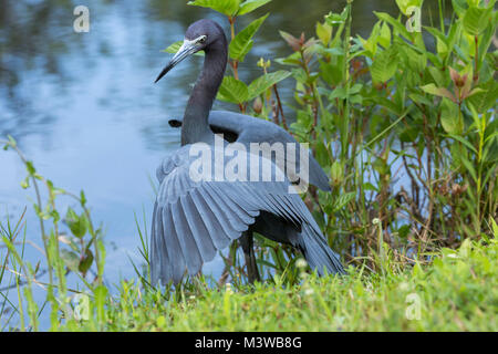 Little Blue Heron (Egretta caerulea) hunting for food in Everglades National Park, Florida - Stock Photo