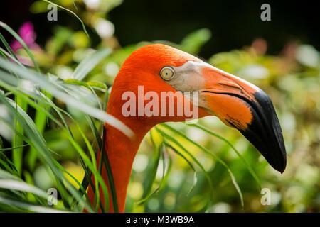 Portrait of a Greater Flamingo (Phoenicopterus ruber) - Stock Photo