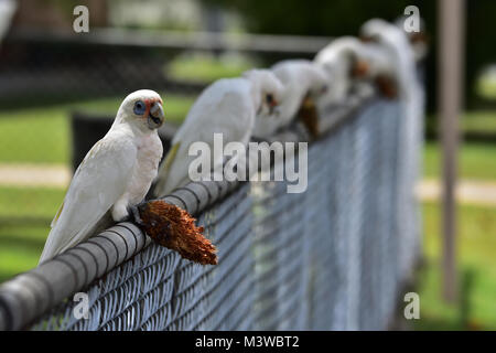 Australian Little Corellas eating a Pine Cone seed - Stock Photo