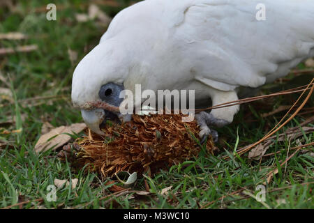 An Australian Little Corella eating a Pine Cone seed - Stock Photo