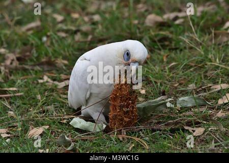 An Australian Little Corella eating a Pine Cone seed - Stock Photo
