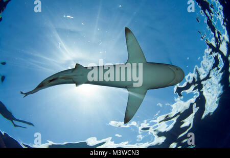 Galapagos Sharks are one of the more common species found off of Oahu's north shore - Stock Photo