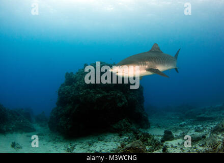 A tiger shark swims past a pinnacle at the famous Honokohau Harbor. - Stock Photo