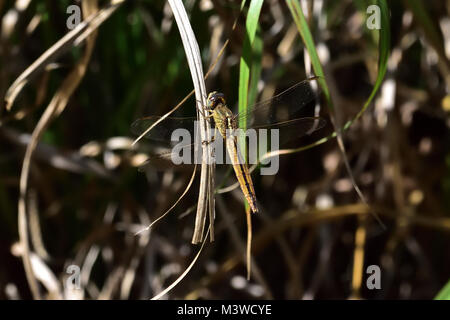 An Australian Female Black-headed Skimmer Dragonfly resting on a leaf - Stock Photo