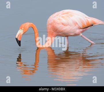 American flamingo (Phoenicopterus ruber) feeding in a lagoon near Puerto Villamil. Puerto Villamil, Isabela, Galapagos, - Stock Photo