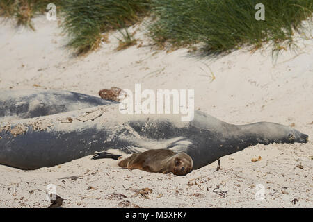 Young Southern Sea Lion (Otaria flavescens) lying next to a group of Southern Elephant Seals (Mirounga leonina) - Stock Photo