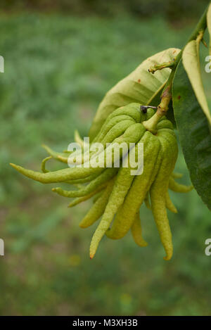 Citrus medica, fruit and flowers - Stock Photo