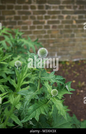 Echinops ritro plants - Stock Photo