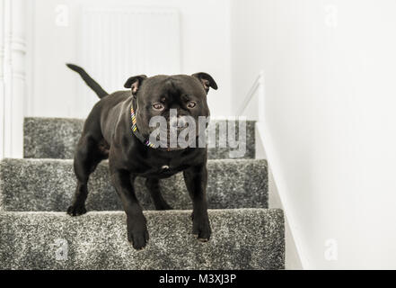 strong black staffordshire bull terrier dog running down stairs with carpets indoors. - Stock Photo