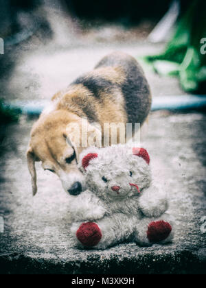Abondoned old white bear doll left on ground with cute beagle sniffing on its , adding noise and grain - Stock Photo