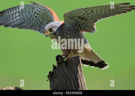 KESTREL (Falco tinnunculus) with mouse, UK. - Stock Photo