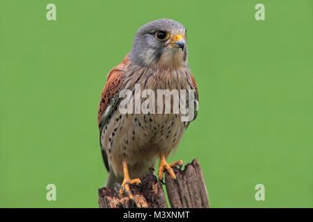 KESTREL (Falco tinnunculus)  perched, UK. - Stock Photo