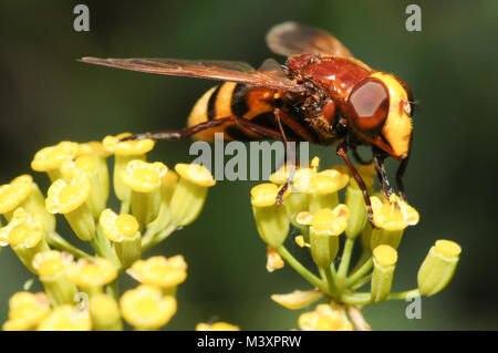 Hoverfly mimic feeding on flower, Andalucia, Spain - Stock Photo