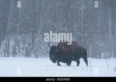 Bison walking across a frozen lake through deep snow in a blizzard, Elk Island National Park, Canada - Stock Photo