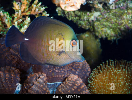 Brown tang, Zebrasoma Scopas. Is found in the Indo-Pacific region, living at water depths of up to 60 meters. It - Stock Photo