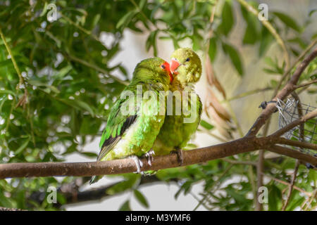 Paradise Park, Hayle, Cornwall. 13th Feb 2018. A pair of Lovebirds cuddle up on a branch while their chick peeks - Stock Photo