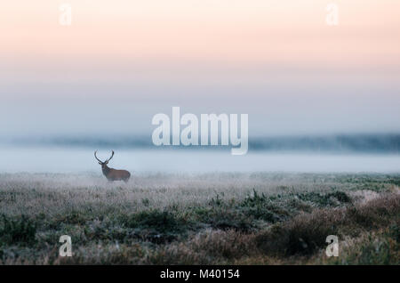 Beautiful red deer stag on the snowy field near the foggy misty forest landscape in autumn in Belarus. - Stock Photo