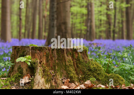 Large tree stump in a bluebell forest filled with wild hyacinths - Stock Photo