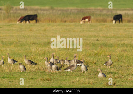 Greylag Geese (Anser anser) flock and grazing cattle on rough grassland, St. Aidans RSPB reserve, West Yorkshire, - Stock Photo