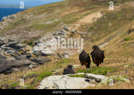 Pair of Striated Caracara (Phalcoboenus australis) with their nearly full grown chick on the cliffs of Carcass Island - Stock Photo