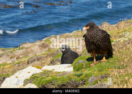 Striated Caracara (Phalcoboenus australis) with their nearly full grown chick on the cliffs of Carcass Island in - Stock Photo