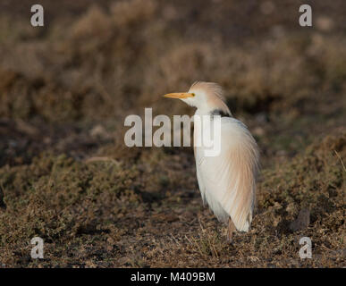 Cattle Egret (Bubulcus ibis) in summer plumage sat on a saltmarsh on Fuerteventura Canary Islands. - Stock Photo