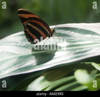 Macro shots of monarch butterfly sitting on broad leaf with brightly coloured wings extended.Butterfly playing within - Stock Photo