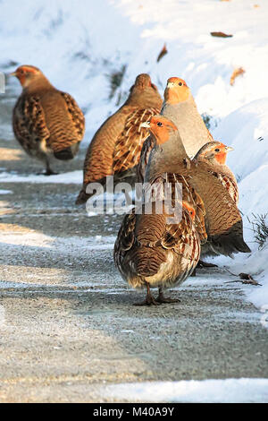 Gray Partridge walk along a sidewalk in winter. - Stock Photo