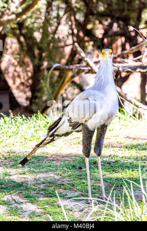 Standing over four feet tall, a secretary bird walks through its habitat using its long legs to help search for - Stock Photo