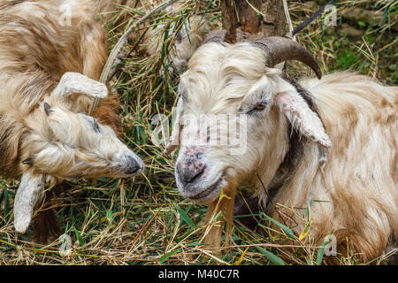Sheep (ewe and its lamb) eating grass in the mountain village in Himalayas, Nepal. Portrait image. - Stock Photo