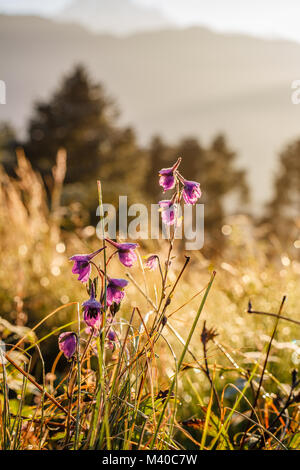 Purple flowers in dew at sunrise at Poon Hill in Himalayas with a view of Annapurna range on a background. Nepal. - Stock Photo