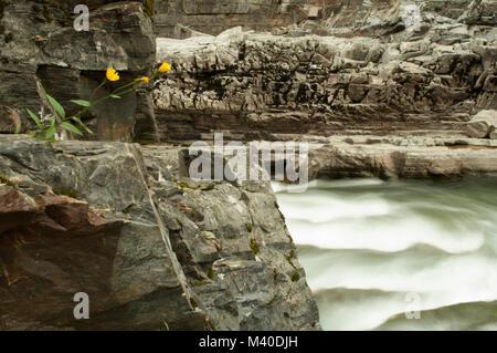 Goat River near Creston, British Columbia, Canada.  Solitary yellow wildflowers growing on rocks. - Stock Photo