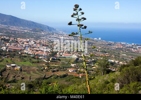 Flowering Agave americana against city and sea. LA Orotava valley on Canary islands, Spain. - Stock Photo
