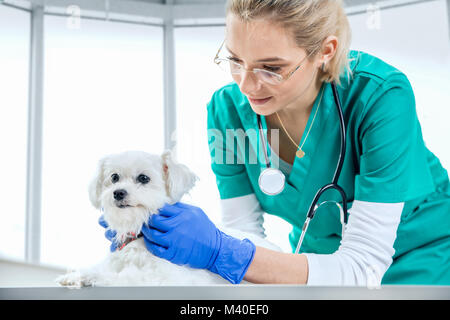 Female vet examines the fur of a dog - Stock Photo