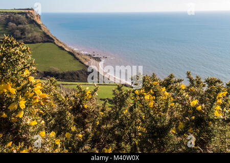 Gorse bushes in flower overlooking Salcombe Mouth on the South West Coastal Path between Sidmouth and Beer. - Stock Photo