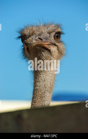 Ostrich close-up. Face of an ostrich bird up close and personal. - Stock Photo