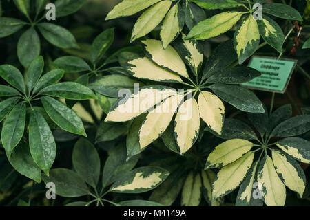 Green Leaves Of Schefflera Arboricola In Botanical Garden. - Stock Photo