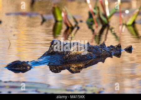 An American alligator (Alligator mississippiensis) laying low in the swamp. - Stock Photo