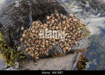 Caddisfly Larvae Retreats on a Wet Rock - Stock Photo