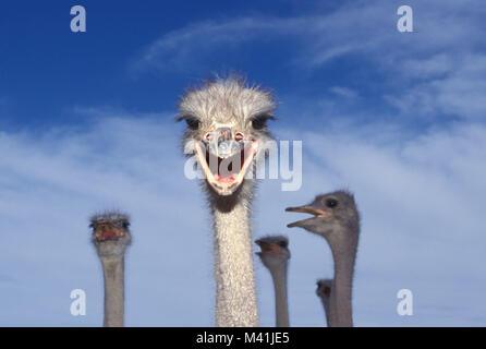 South Africa. Oudshoorn. Little Karoo. Bird. Ostriches at farm. - Stock Photo